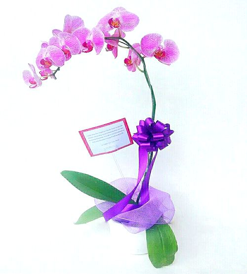 Single Potted Orchid